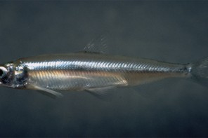 California Delta Smelt