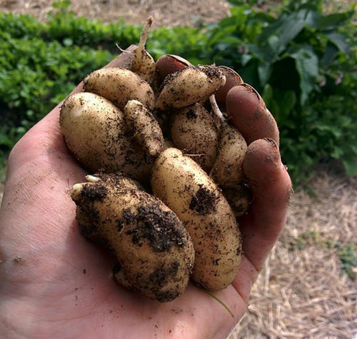 One of the two varieties of potatoes I grew this season. Small and tasty.