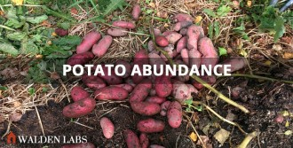 Potato abundance