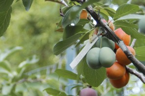 This Amazing Tree Grows 40 Kinds of Fruit